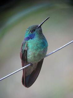Colibri thalassinus / Colibrí verdemar / Green Violetear