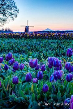 Wooden Shoe Tulip Festival ~ Woodburn, Oregon