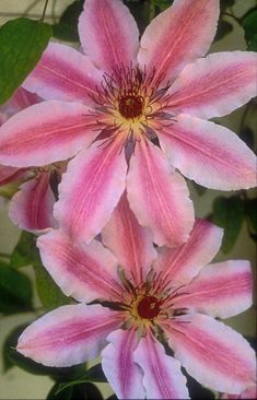 Klehm's Song Sparrow Farm and Nursery--Clematis--'Nelly Moser'