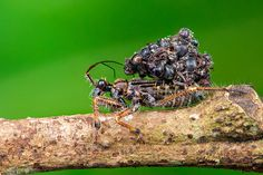 The Assassin Bug – Malaysia's Macabre Miniscule Murderer carries the corpses of its ant victims around after it drains their bodies for food In A Glass Cage, Glass Cages, Deadly Animals, Macabre, Assassin, Amazing Nature, Ants, Strange Animals, Creatures