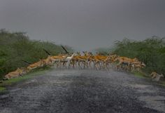 """""""Migration of black buck.When I visited Velavadar village in monsoon. That time this village near Black Buck national park. I  seen rare moment of wildlife in monsoon time. Albino black buck cross the routine village road for people.That time my village friend told me that we and black buck live happily together for living better."""""""