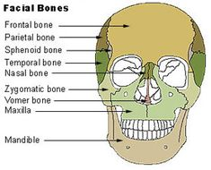 Skull Bones in the Human Body. Learn in detail all about the anatomy of the skull, the functions and the names of all the bones. Anatomy Bones, Skull Anatomy, Body Anatomy, Tissue Biology, Sphenoid Bone, Nasa, Axial Skeleton, Human Skeleton Anatomy, Facial Bones