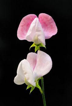 Sweet Pea (flor del pesol )