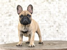 Bull Ranch MX Reserva Bull Monsieur Belmont World Winner, Dog Show, Dog Training, French Bulldog, Ranch, Dog Lovers, Puppies, Dogs, Animals