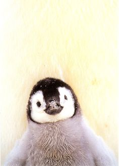 I want a baby penguin. STAT!!