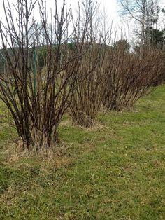 Tid for beskjæring av bærbuskene