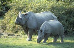 Strong Rinoceros