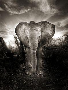 Kibo, a new life (Nairobi Nursery, Boxing Day 2009) by Joachim Schmeisser/David Sheldrick Wildlife Trust