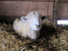 Small Animal & Livestock Euthanasia on the Homestead
