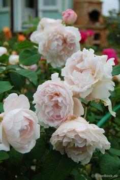 Rosa 'Redoute' | Zon V. En hybrid av 'Mary Rose' och väldigt lik denna i växtsättet, men blommorna har en något ljusare, mjukare rosenkaraktär. Doften är typisk för gammaldags rosor med en antydan av honung och mandel. Ibland kan man finna både vita och ljusrosa blommor samtidigt eftersom den lätt bildar blommor från 'Winchester Cathedral', en annan hybrid av 'Mary Rose'. Uppkallad efter Piérre Joseph Redouté (1759-1840), en av de mest kända franska rosmålarna. Austin, 1992.