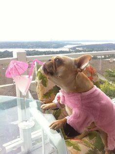 She loves a good pink cocktail with one of those little umbrellas: | 30 Things You Need To Know About Piggy The FrenchBulldog