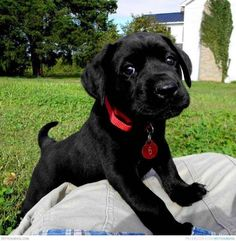 Black Lab Puppies, Cute Puppies, Dogs And Puppies, Mastador Puppies, Pet Dogs, Pets, Doggies, Black Labrador, Black Labs