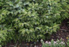 Odborník radí: Na čo si dať pozor pri kupe ihličnanov Herbs, Gardening, Garten, Herb, Lawn And Garden, Garden, Spice, Square Foot Gardening, Garden Care