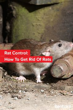 To get rid of rats from your property the quickest and most effective way is professional, targeted rat control. Sealing access points helps deter rats from entering Rat Control, Best Pest Control, Pest Control Services, Drywood Termites, Getting Rid Of Rats, Termite Control, Homestead Survival, How To Get Rid