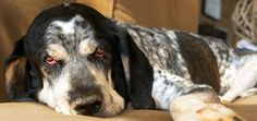 Get to Know the American English Coonhound: An All ... #bloodhound puppies