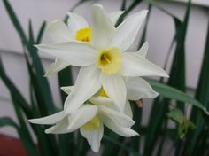 Very early Jonquils showing their colours (and fragrance) end of May 2017 :)
