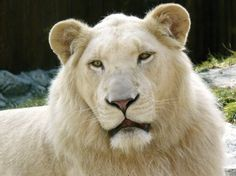 Every Thing To Know About Lions