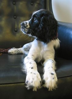 Patricia's Springer Spaniel, Eddie, just came in and is greeting everyone with licks and hugs! She is a sweet puppy.