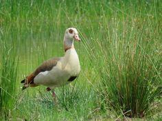 Nijlgans, Egyptian Goose, Alopochen aegyptiacus