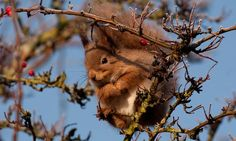 Red squirrels: 5,000 volunteers sought to save species – and help kill invasive greys - A red squirrel eating berries on the Isle of Wight