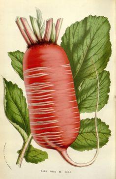 Radish - Raphanus sativus - circa 1845