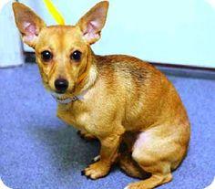 Manhattan, NY - Chihuahua Mix. Meet Gigi, a dog for adoption. http://www.adoptapet.com/pet/12238944-manhattan-new-york-chihuahua-mix