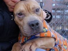 SAFE --- Manhattan Center BOREGARD - A1021437 MALE, TAN, STAFFORDSHIRE / AM PIT BULL TER, 6 yrs STRAY - STRAY WAIT, NO HOLD Reason STRAY Intake condition UNSPECIFIE Intake Date 11/22/2014, Main thread: https://www.facebook.com/photo.php?fbid=912030285476518