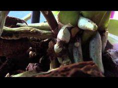 Чёрные перетяжки на корнях орхидеи. Что это такое... - YouTube