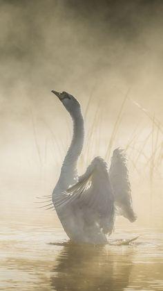 Mute swan Birds Swans Swan Fog Bird