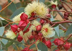 Red-bud Mallee (Eucalyptus pachyphylla) (by Shadow Dog Photos) The Eighth Day, Dog Photos, Bud, Nativity, Flora, Create, Plants, Bethlehem, Plant