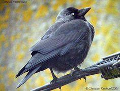 Choucas des tours (Corvus monedula) Choucas Des Tours, Colorful Birds, Paradise, Nature, Animals, Birds, Naturaleza, Animales, Colourful Birds