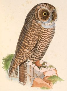 2236. Rufous-legged Owl (Strix rufipes) | its range stretches from central Chile and west Argentina to Tierra del Fuego and is occasionally spotted on the Falkland Islands