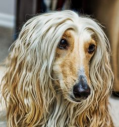 Afghan Hound. That face! That hair! I'm in love.