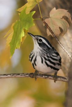 black and white warbler...saw one years ago on the Mississippi flyway!!! Amazing to see a black & white bird...