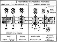 Diffusion et transports à travers la membrane cytoplasmique