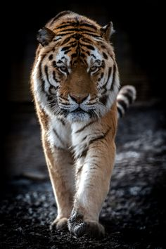 Tiger by Peter Hausner