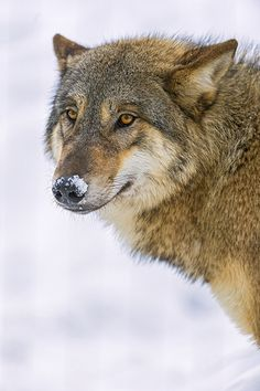 Mongolian Wolf with snow on the nose