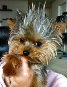 Yorkie pillow head--Trooper!: Yorkshire Terrier, Yorkie S, Pet, Hairs, Bad Hair, Yorkie Bed, Morning
