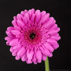 I've recently added a new photo – Picture PerfectGerbera Daisy– to myBeautifulFlowerPictures.comwebsite. My Picture PerfectGerbera Daisy photo is a companion photo to my Zodiac and Fusi…