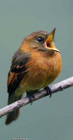 P~~~cinnamon flycatcher (Pyrrhomyias cinnamomeus) is a species of bird in the family Tyrannidae. It is the only member of the genus Pyrrhomyias. Cute Birds, Pretty Birds, Small Birds, Colorful Birds, Little Birds, Beautiful Birds, Animals Beautiful, Vogel Gif, Image Zen
