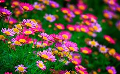 Daisies Flower In Summer Beautiful Flowers Pictures Wallpapers Roses