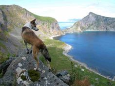 The Norwegian Lundehund was originally bred for the purpose of hunting puffins and finding their eggs. Instead of the normal four toes per foot, the Norwegian Lundehund has six toes on each foot. The breed is able to turn their head backwards and has extremely flexible shoulder joints, giving them more mobility than the average dog