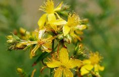 Saint John's wort, also called hyperycum, is the name of a group of about 300 species of herbs and shrubs with large yellow flowers.-John's-worts grow in the temperate…Read MoreSaint John's wort Genital Herpes, Natural Treatments, Natural Cures, Herbal Treatment, Hair Treatments, Acne Treatment, Natural Skin, Natural Medicine, Medicinal Plants