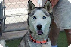 San Luis Obispo, CA - Siberian Husky. Meet *SISKO*, a dog for adoption. http://www.adoptapet.com/pet/16289684-san-luis-obispo-california-siberian-husky