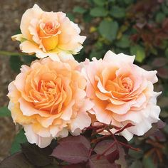 Pinner said: The fragrant yellow-apricot blooms of this floribunda are sure to be the highlight of your garden.