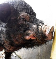 That is a ugly pig.