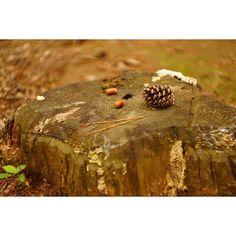 【goxoxoxo】さんのInstagramをピンしています。 《「小さい秋(little autumn)」 最近一気に冷え込みましたね。 #ひたち海浜公園 の森の中で、小さい秋を見つけました🍂 #栃カメ #sonyimages #a6000 #alpha6000 #sony #sonya #sonyalpha #summarit #ライカ #leica #オールドレンズ #オールドレンズ部 #oldlens #茨城 #ひたちなか #秋 #autumn #森 #木 #forest #wood #松ぼっくり #風景 #landscape #写真が好きな人と繋がりたい #ファインダー越しの私の世界 #東京カメラ部 #tokyocameraclub》
