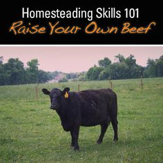 Keeping cattle is one of the many livestock choices a homesteader can make to secure a year's supply of meat and to take that extra step in self-reliance but it's not for everyone.  #homesteading #selfreliance #cows