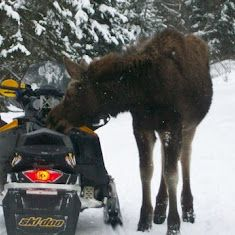 Moose hitting the kill switch on a snowmobile in Pittsburg NH. The Cabins at Lopstick offers cabins overlooking First Connecticut Lake in Pittsburg NH. See moose, enjoys the lakes and woods of the northern-most town in New Hampshire. http://www.cabinsatlopstick.com
