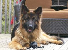long haired german shepherd puppies for sale   Cute Puppies